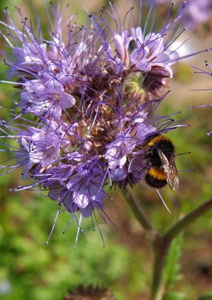 Bee feeding by BERTRAM