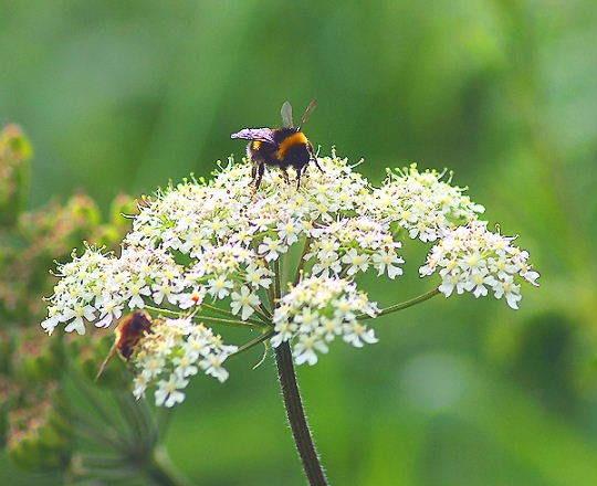 Bees by SiSheff
