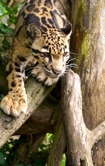 Clouded Leopard by mattphotos