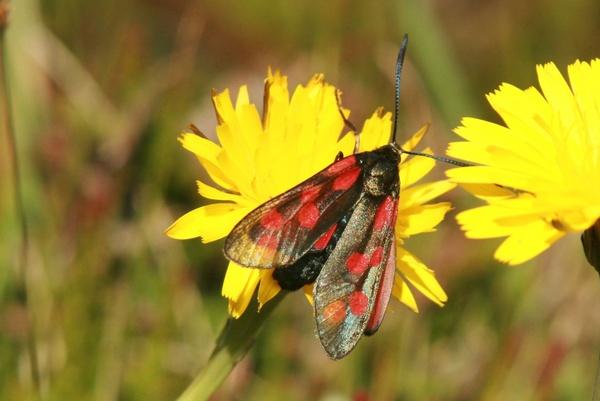 Burnet Moth by shamo