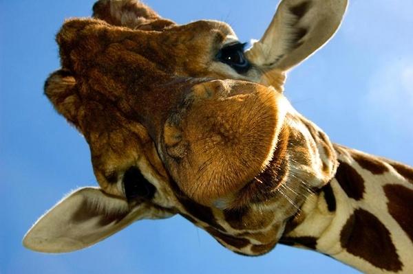 Giraffe by juliebenson