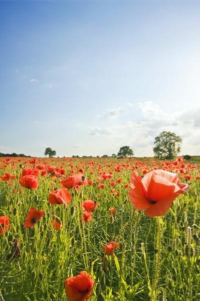 The Poppy Field by smig44