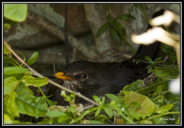 Broody Blackbird by lobo_blanco