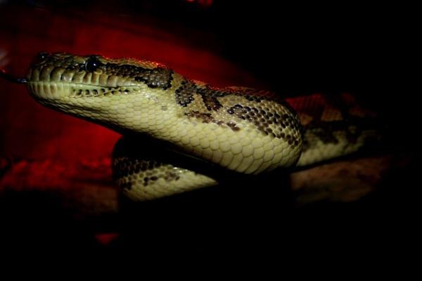 My Python by x_posure