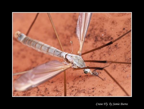 Crane Fly by jaysphotography