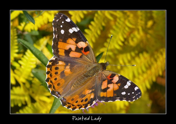 Painted Lady by Ade_Osman