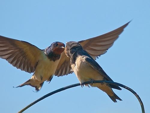 Juvenile Swallow - Feding Time by PrivateCustard