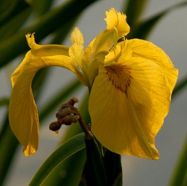 Yellow Iris by catmandu