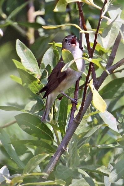 Garden Warbler by RTR