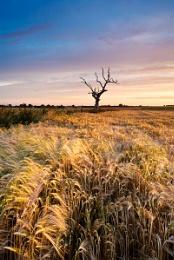 Barley Dawn