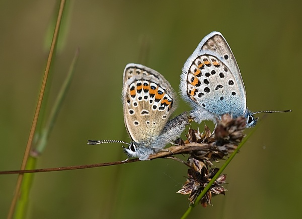 Mating pair of Silver studded blues by deavilin