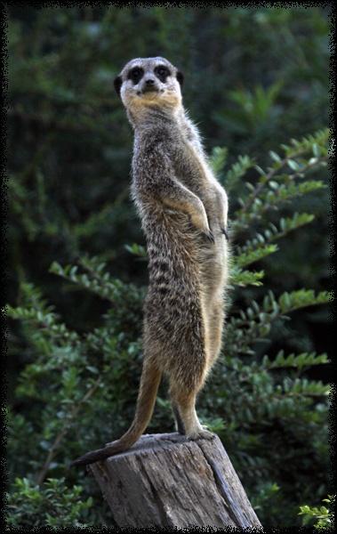 Meerkat by nort