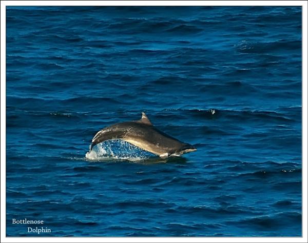 Bottlenose Dolphin by Portknockie