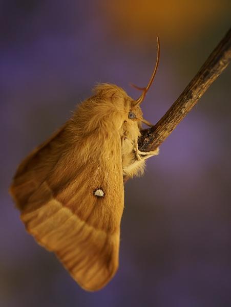 eggar moth by jacquienewsham