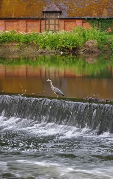 Durham Heron by QuentinS
