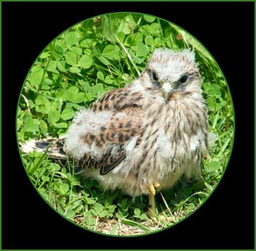 * Kestrel Chick 3* by Dorothea