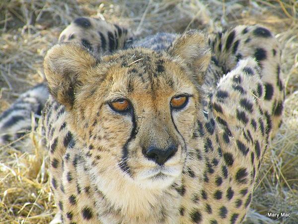 Cheetah by MaryMac