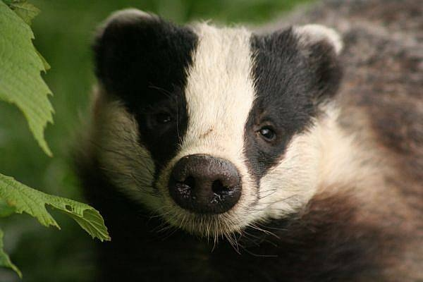 Badger by Muppet