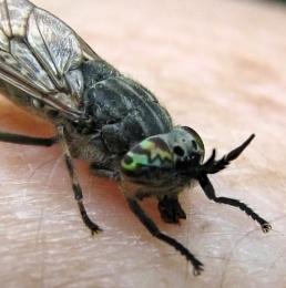 Cleg-fly!