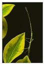 stick insect by blackbird