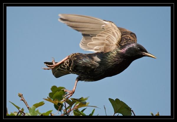 Starling Take Off by GaryR