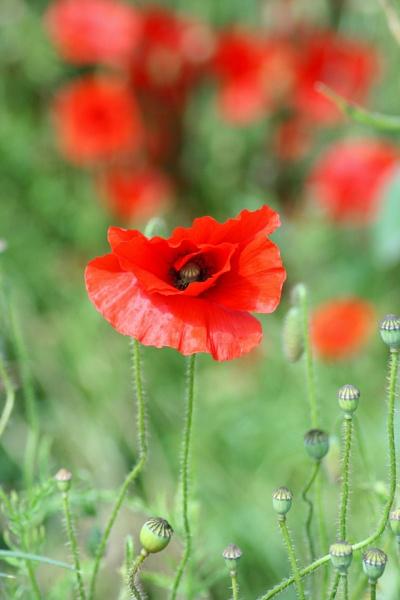 Poppies by happysnappa