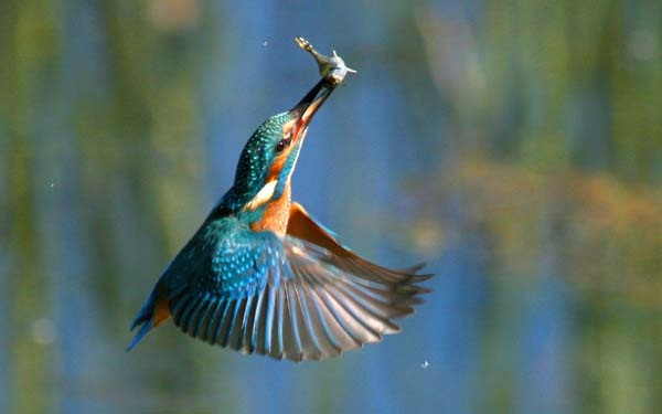 Kingfisher in flight with fish by Trevrox