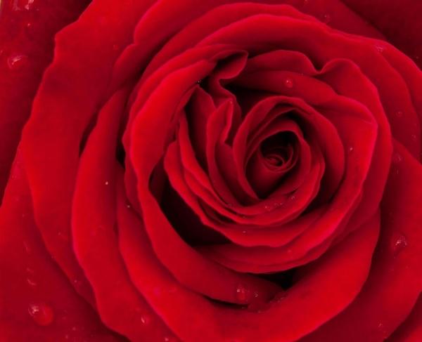 Rose 2009 by TrevorH