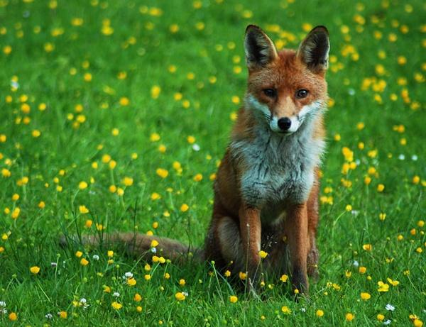 Mr Fox by sandyd