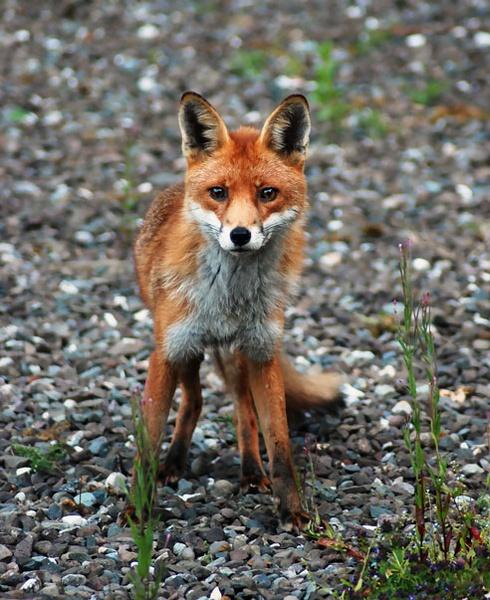 Fox on the Rocks by sandyd