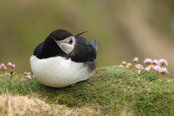 sleeping puffin by alastairwilson