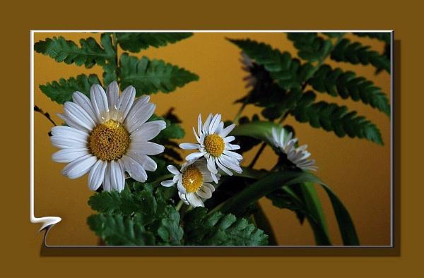 Daisy by gerrymac