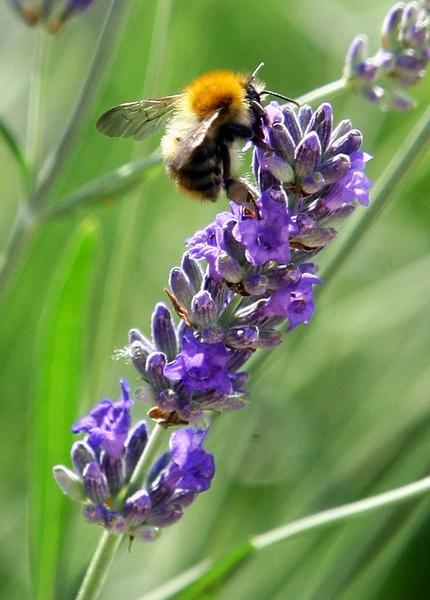 Lavender Hunter by depthimages