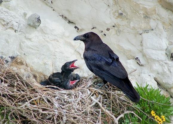 Raven by chrissharp