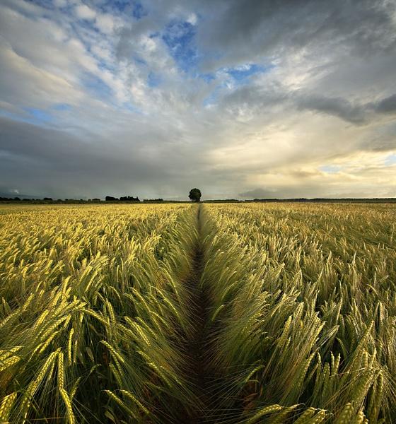 Wheat Field by MichaelBHanney