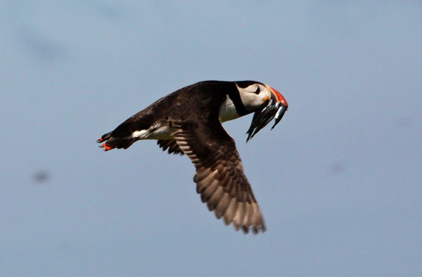 Puffin in filt by AnthonyF