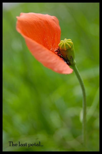 The last petal by sharlotte51