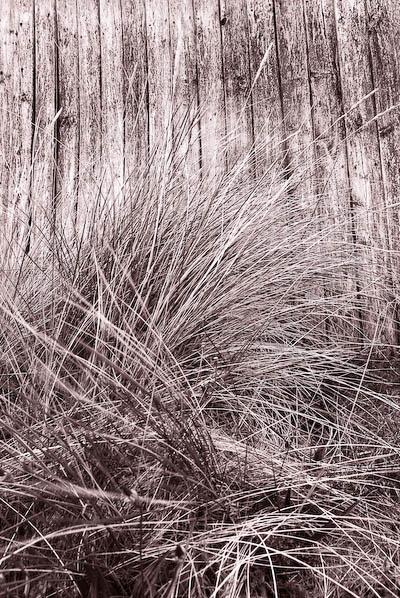 Marram Grass by Phinickphotos