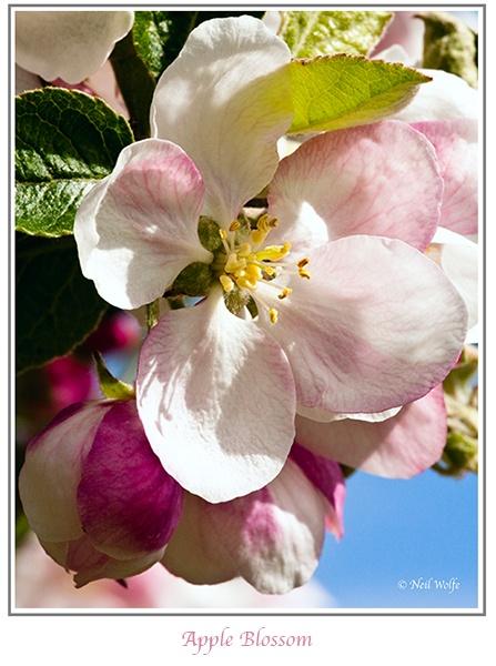 Apple blossom by lobo_blanco