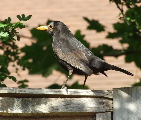 Blackbird by Rubydooby