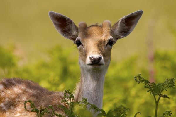 Fallow Deer by bridge99