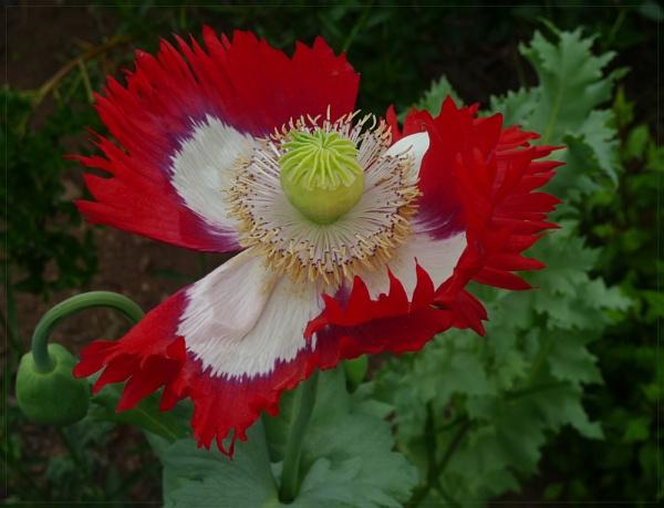 Poppy Awake by EAS