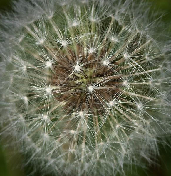 Dandelion by cmf