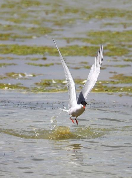 Tern fishing by RTR
