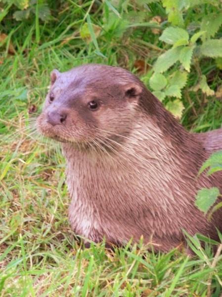 Otter by darranl