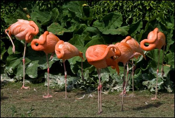 A Flex Of Flamingos by tralfamadorean