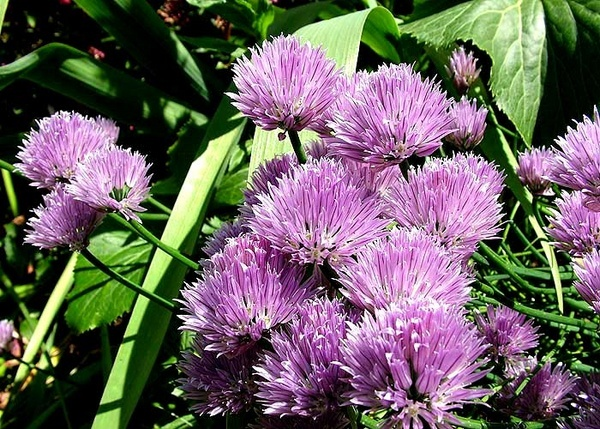 Chives 2 by panda