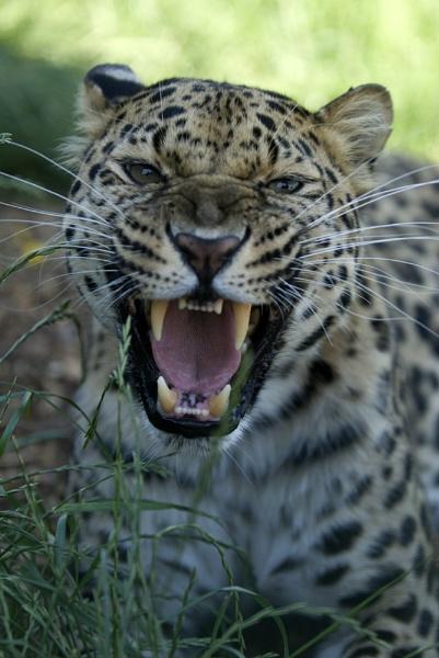 Amur Leopard by alanDwest