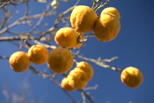 Orange tree by garnham123