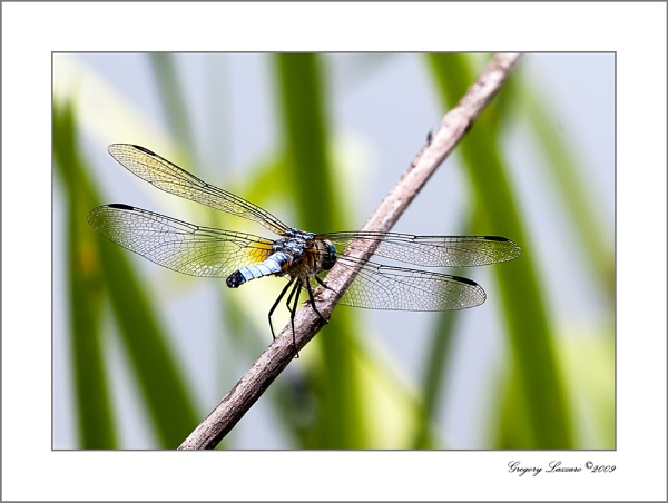 Dragonfly by glazzaro